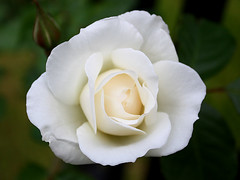 White Rose | by donsutherland1