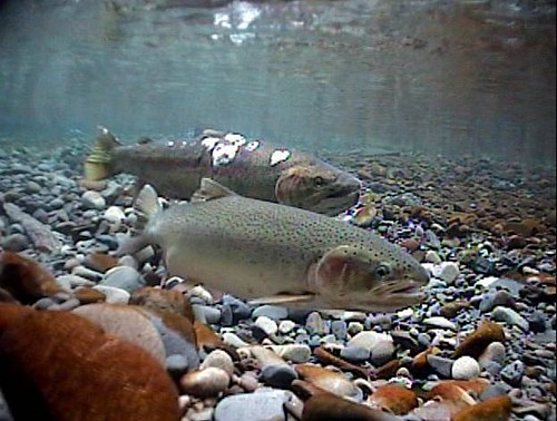 Image result for steelhead spawning