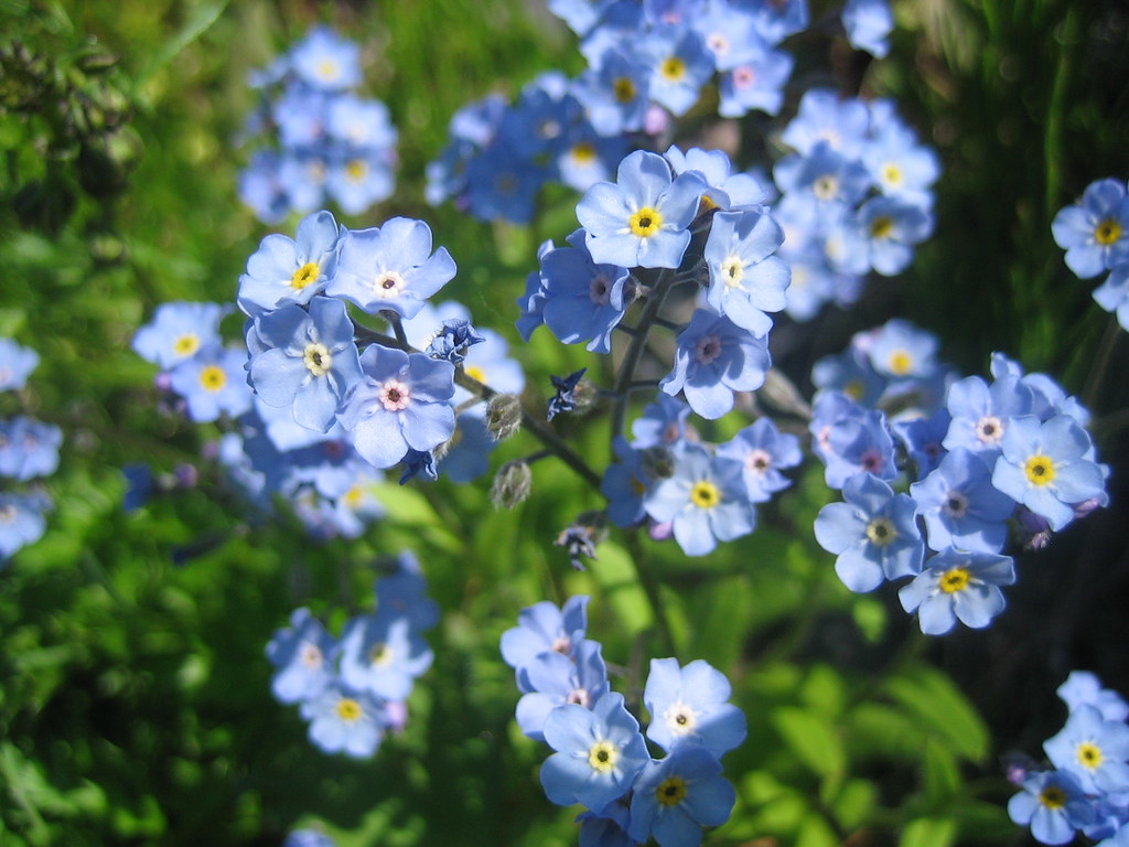 for me nots Alaska s state flower Rebecca