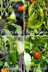 four varieties of chillies | by nicisme