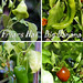 four varieties of chillies
