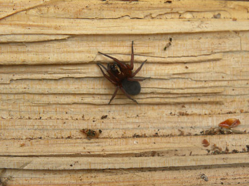 about butt spider There are many spiders that fit your description quite a few jumping spiders qualify for this, as well as some argiopes, ant-mimics, ground spiders, orb weavers, mysmenids, cobweb spiders, and a bunch of others without a more detailed description at the least and preferably a photo and location .