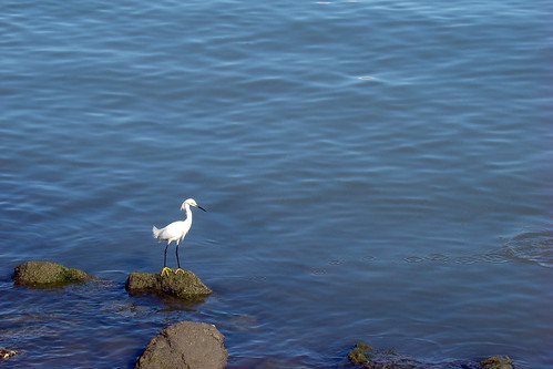 little egret | by IngeKühn
