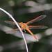 Libellula needhami , Needham's Skimmer
