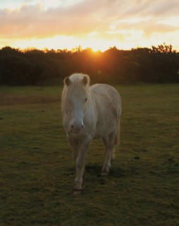 Dartmoor Pony at Sunrise | by Lyndon Photography