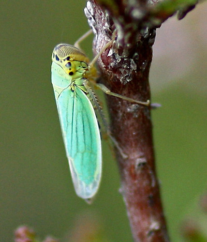 Leafhopper | by kcc5