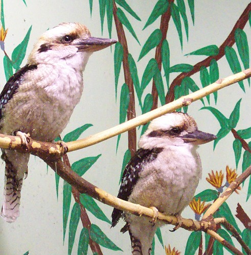 Kookaburras | by Potter Park Zoo