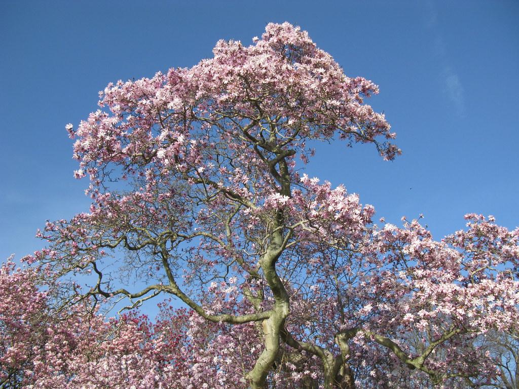magnolia stellata 39 rosea 39 magnolia stellata 39 rosea 39 64 136 flickr. Black Bedroom Furniture Sets. Home Design Ideas