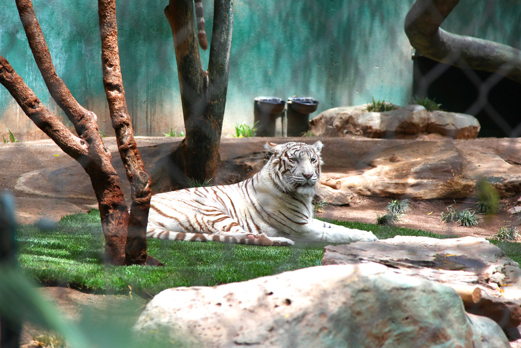 White Tiger At The Mirage Hotel Secret Garden In Las Vegas