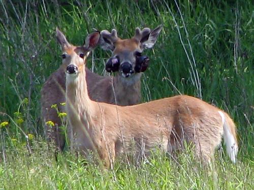 Deer with skin tumors ...