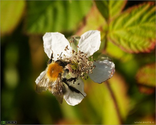 Bumblebee on Bramble | by bbusschots