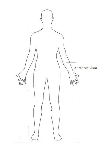 antebrachium