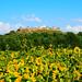 La fortezza e i girasoli / The fortress and the sunflowers