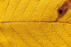 Yellow leaf texture | by Manu_H
