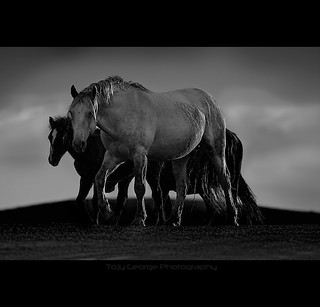 Wild horses photographed at Montana | by tojygeorge