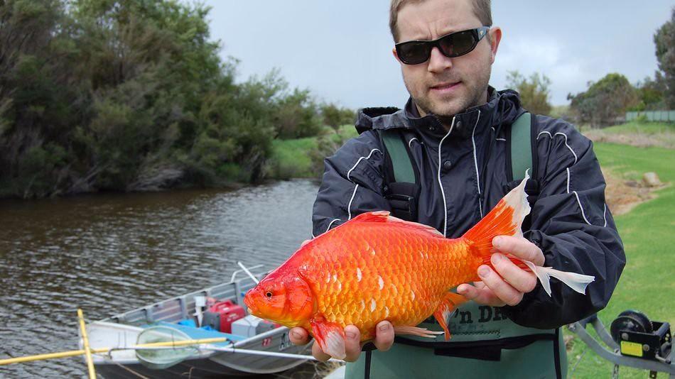 「即使是圓嘟嘟可愛的寵物魚,一旦進入到野外,也可能造成無法預料的生態浩劫。」