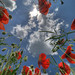 Poppies against the sky