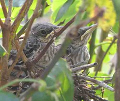 baby mockingbirds | by dolittlethings09