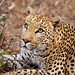 Leopard_5975