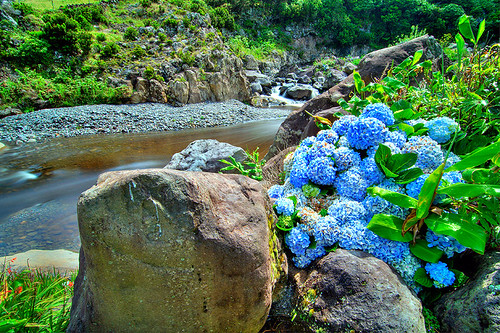 Flores Island Azores Portugal Hydrangeas And Small Rive