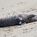 Common or Harbour Seal (Phoca vitulina) 09 Feb-10-41315