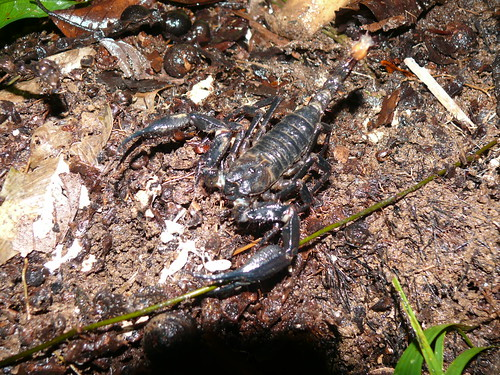 Forest scorpion | by East Asia & Pacific on the rise - Blog