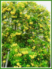 Tecoma stans (Yellow Bells, Yellow Trumpetbush, Yellow Elder) with beautiful yellow flowers in the neighbourhood, 19 Feb 2017