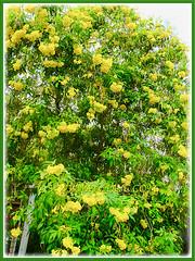 Tecoma stans (Yellow Bells,Yellow Trumpetbush, Yellow Elder) with beautiful yellow flowers in the neighbourhood, 19 Feb 2017