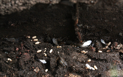 how to get rid of ant colony in garden