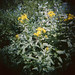 Breckenridge Wildflowers
