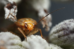 Plant bug in lavender seed head #1 | by Lord V