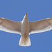 Herring Gull Fly by