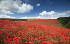 The ultimate poppy field | by antonyspencer