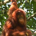 Orang Utan of Semenggoh, Borneo