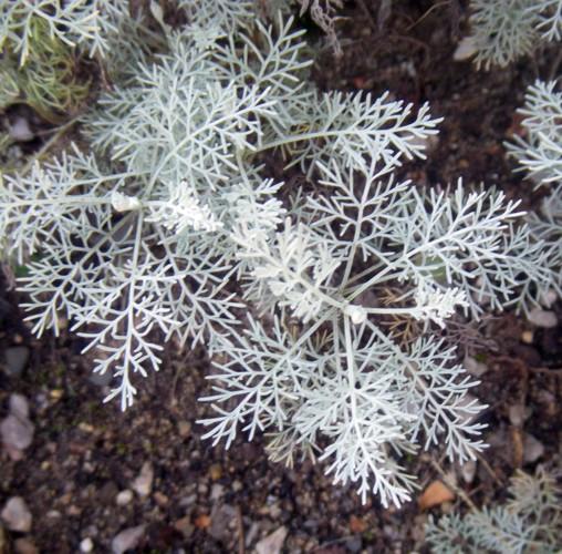 Artemisia santonicum 32699356382_f8a1d01153_o