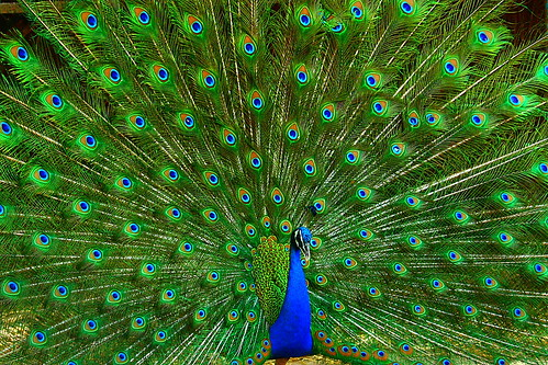 Peacock, the Indian national bird. | by Chandravir Singh