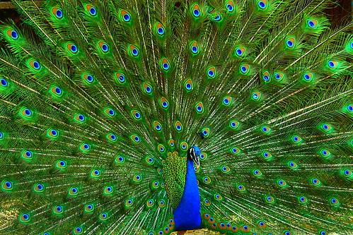 Essay on india's national bird