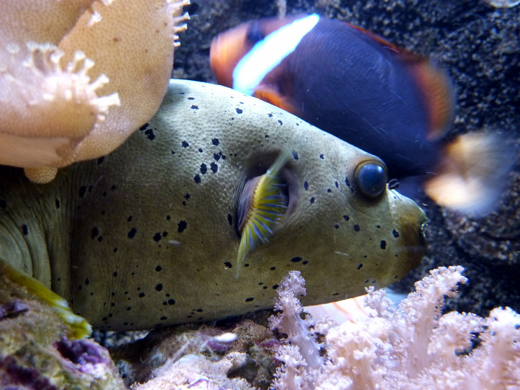 Ful Fisk Dogface Puffer Fish Scientific Name Arothron