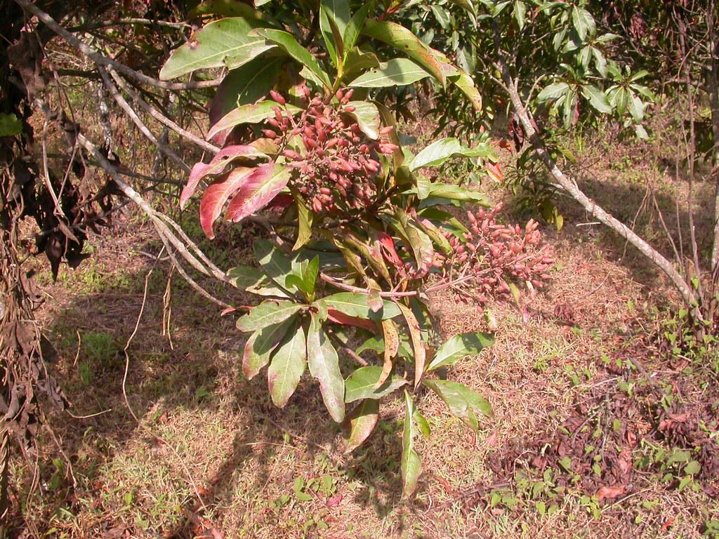 Cinchona officinalis L. (RUBIACEAE) | Scamperdale | Flickr