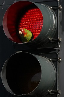 Traffic Signal Parrot | by Ingrid Taylar