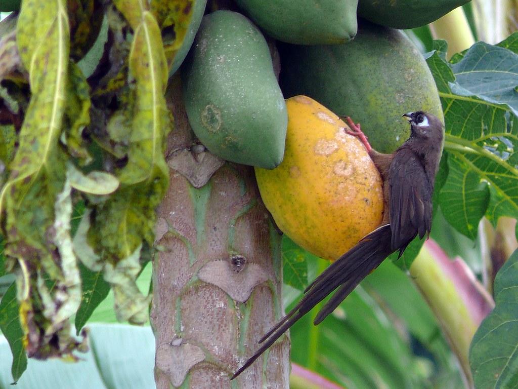 Bird Eating Ripe Papaya Fruit Emil Flickr