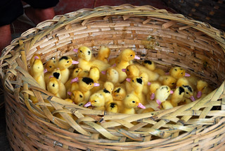 basket of chicks | by hopemeng