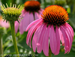 Coneflowers | by Jim Frazier
