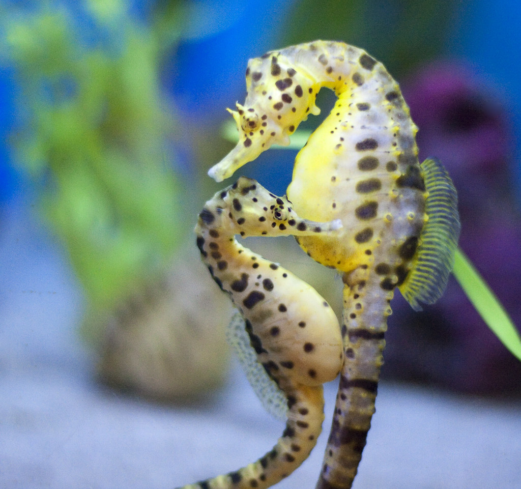 Seahorse couple two pot bellied seahorses cuddle for Immagini cavalluccio marino