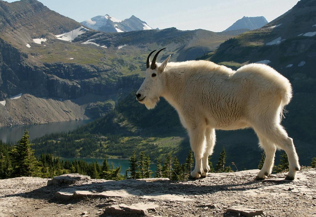 Mountain Goat, Logan Pass, Montana