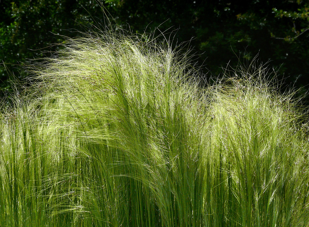 stipa gynerioides  1