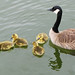 Four Little Goslings