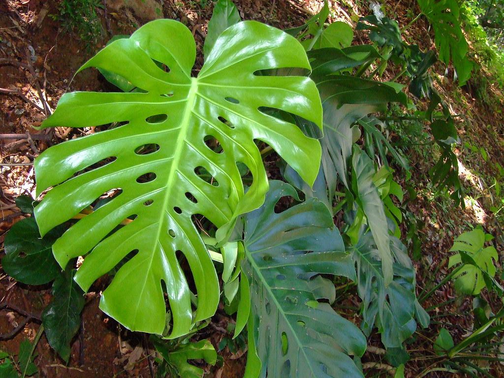 araceae monstera deliciosa monstera deliciosa c flickr. Black Bedroom Furniture Sets. Home Design Ideas
