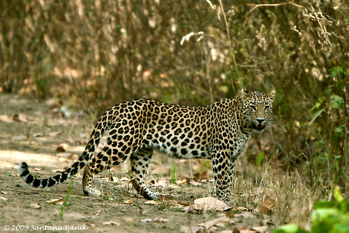 Kanha India  city images : Indian Leopard ~ Kanha National Park | Flickr Photo Sharing!