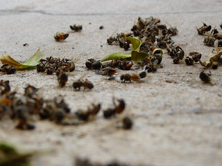 The Mystery of the Dead Bees | by reader of the pack
